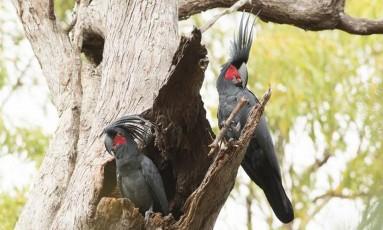 Os machos da cacatua das palmeiras usam palitos para bater em árvores Foto: C. Zdenek