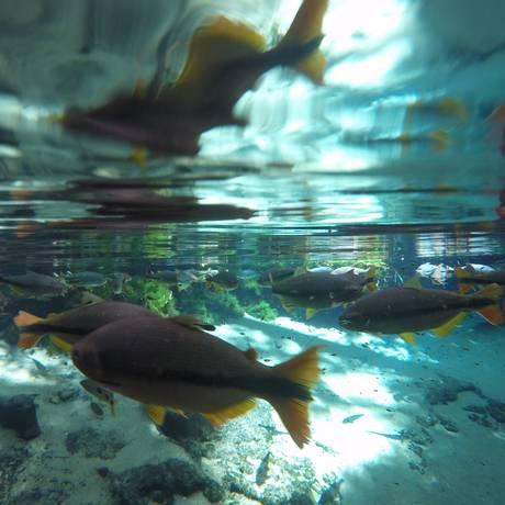 Peixes no Aquário Encantado, em Nobres Foto: Bruno Alfano / Agência O Globo