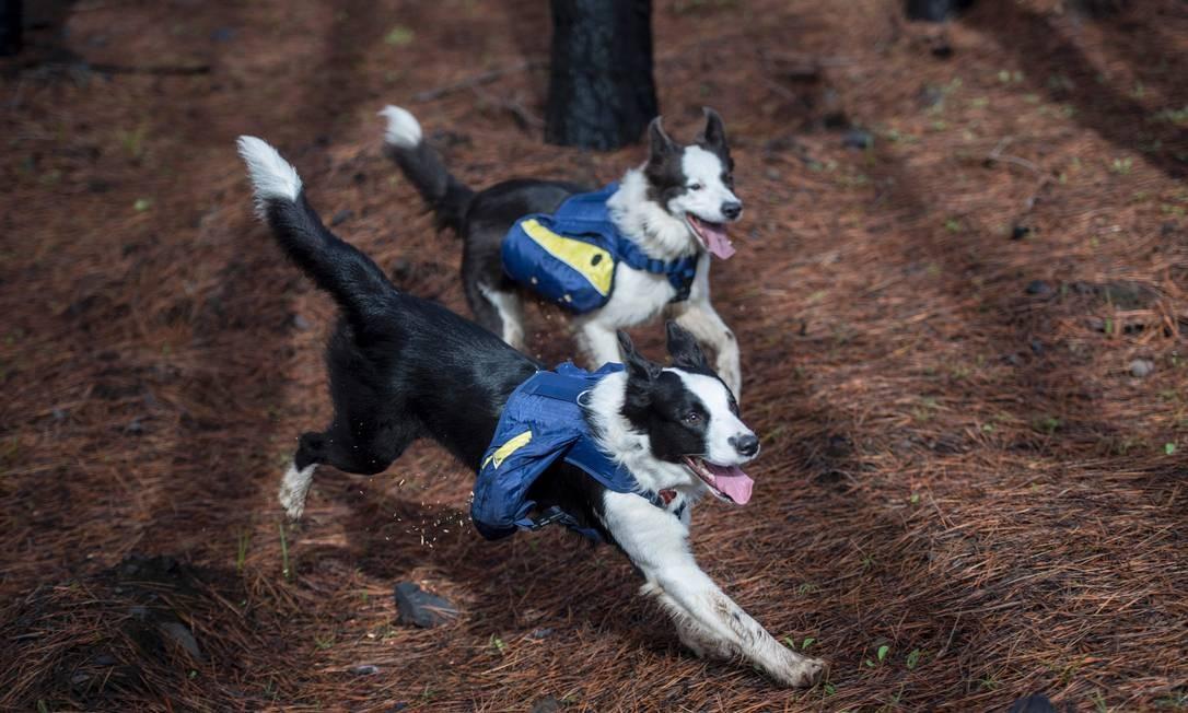 Francisca estima que as cadelas percorram 30 quilômetros por dia espalhando as sementes, enquanto um homem percorreria apenas três quilômetros Foto: MARTIN BERNETTI / AFP