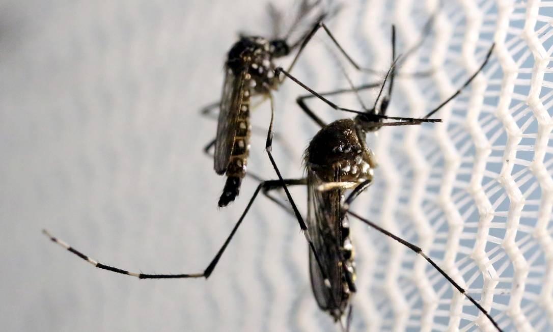 Os mosquitos Aedes aegypti são transmissores em potencial da febre amarela dentro de cidades Foto: Paulo Whitaker / Reuters