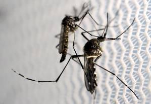 Os mosquitos Aedes aegypti é o transmissor da dengue, zika e chikungunya Foto: Paulo Whitaker / Reuters