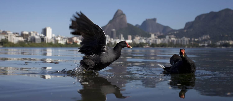 Renascimento da fauna e da flora da Lagoa Rodrigo de Freitas Foto: Márcia Foletto / Agência O Globo