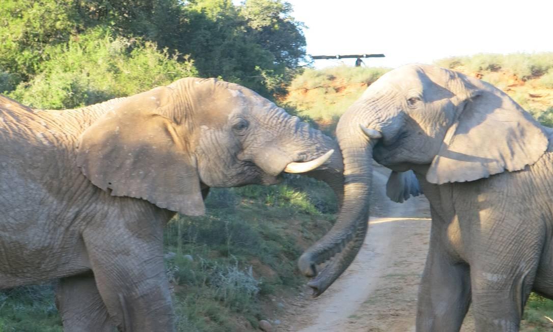 Um dos Big Five, os elefantes podem ser vistos brincando, comendo, derrubando árvores. Eles estão em toda parte, como na Shamwari Game Reserve Foto: Paula Lacerda