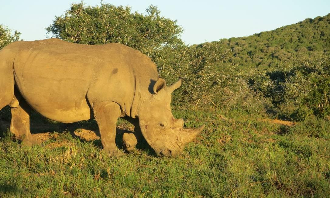 Um rinoceronte branco, outro dos Big Five, na reserva de Shamwari Foto: Paula Lacerda