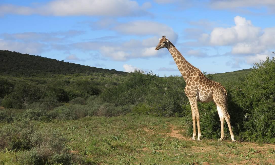 Apesar de não estar entre os Big Five, a girafa (na foto, uma no Hluhluwe iMfolozi Park) é uma das mais amadas pelos turistas Paula Lacerda