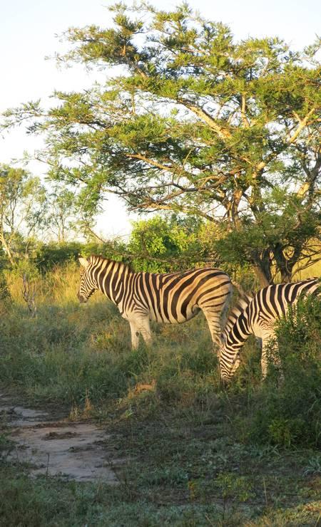 No passeio oferecido pelo Rhino Ridge, no Hluhluwe iMfolozi Park, também é possível observar as zebras Foto: Paula Lacerda