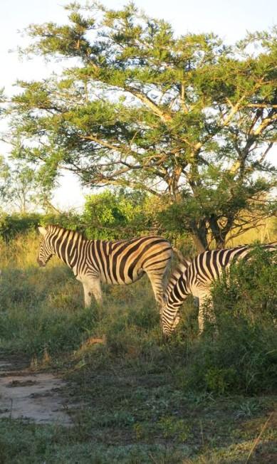 No passeio oferecido pelo Rhino Ridge, no Hluhluwe iMfolozi Park, também é possível observar as zebras Paula Lacerda