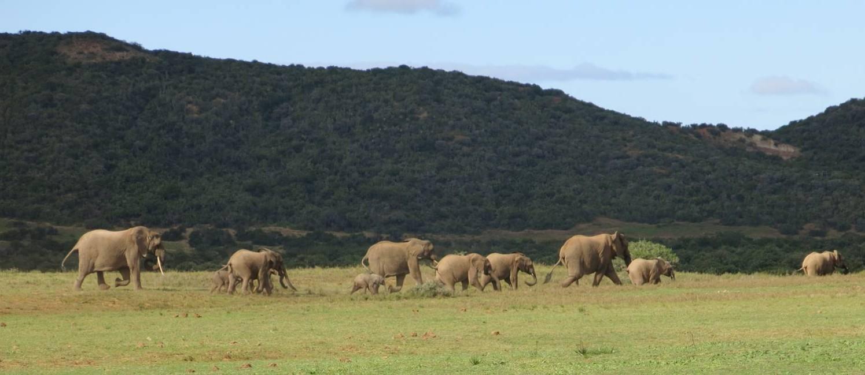 Elefantes. Manada é show à parte em Shamwari, a maior reserva do Cabo Oriental, perto de Port Elizabeth Foto: Paula Lacerda
