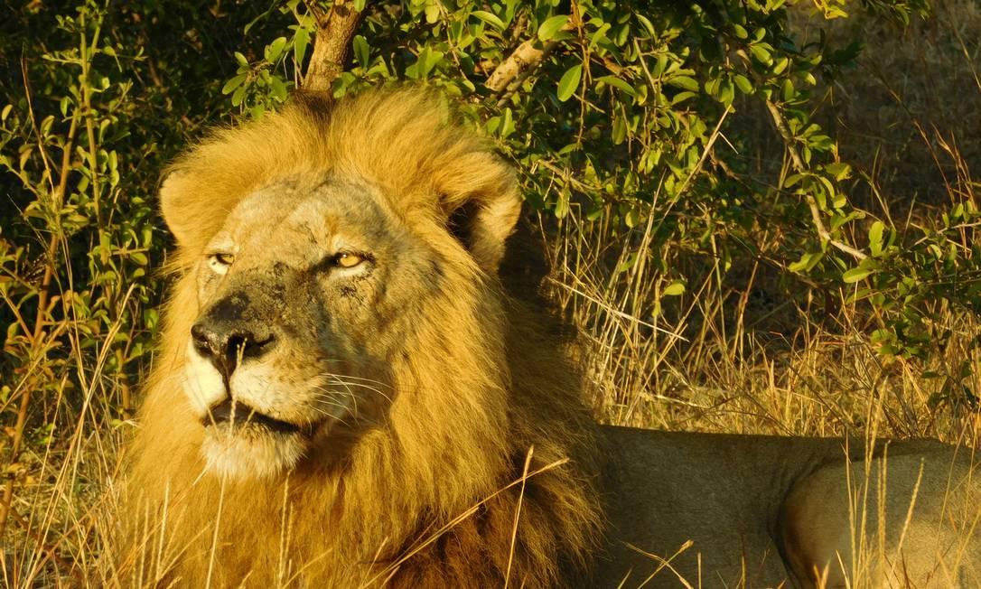 O leão, um dos Big Five, pode ser visto no Parque Kruger, na reserva Singita Ludmilla de Lima / Agência O Globo