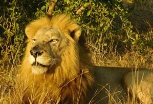O leão, um dos Big Five, pode ser visto no Parque Kruger, na reserva Singita Foto: Ludmilla de Lima / Agência O Globo