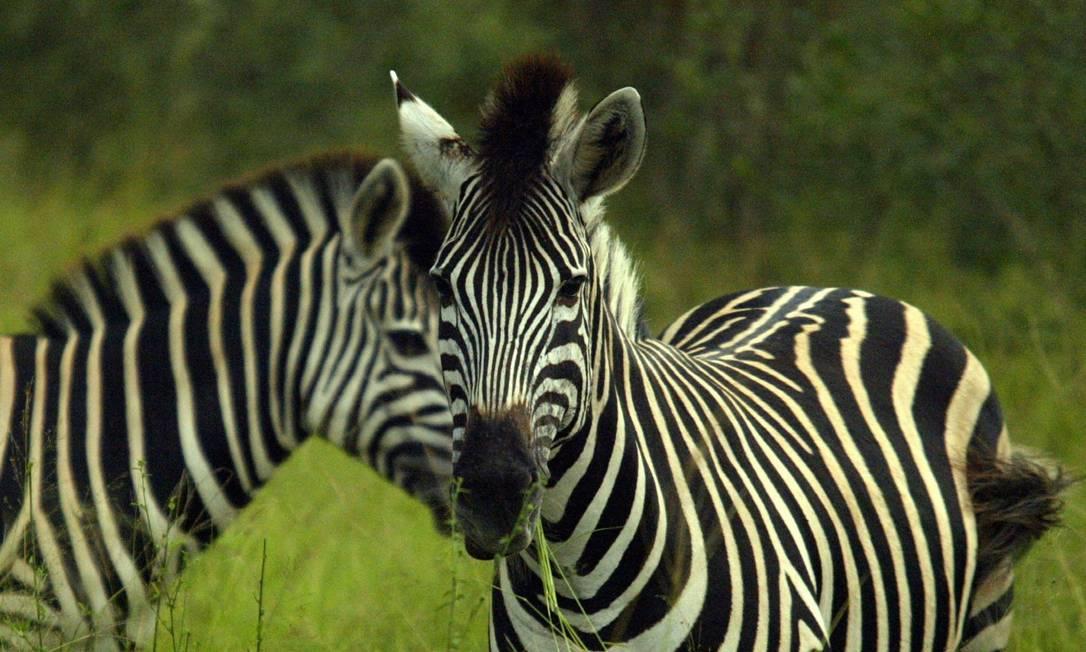 Zebras no Kruger Nacional Park, maior parque nacional da África do Sul. Márcia Foletto / Agência O Globo