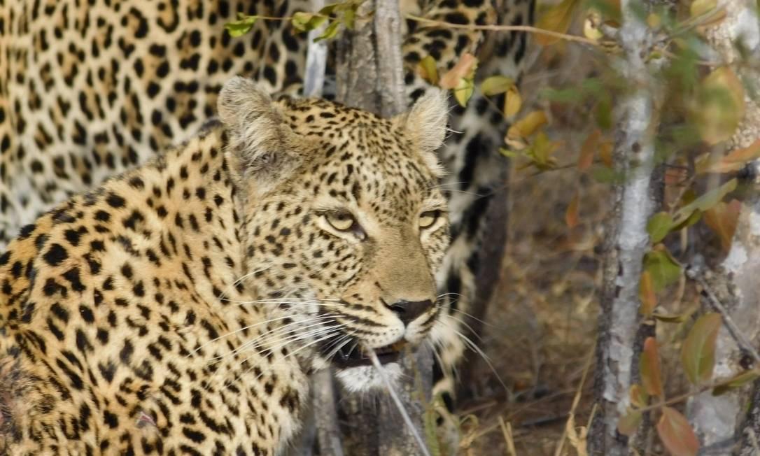 O leopardo também faz parte dos Big Five e pode ser visto no Kruger Park Ludmilla de Lima / Agência O Globo