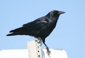 Os corvos são mais adeptos ao planejamento para negociações futuras do que os macacos Foto: Free Images