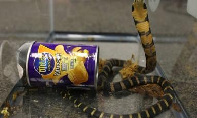 As cobras mediam cerca de 60 centímetros Foto: HANDOUT / REUTERS