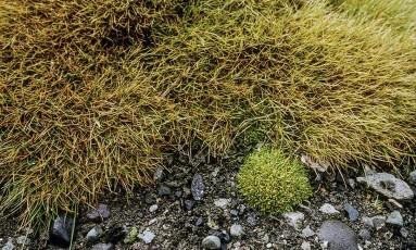 Deschampsia antarctica e Colobanthus quitensis encontradas na Antártica Foto: Wikimedia Commons