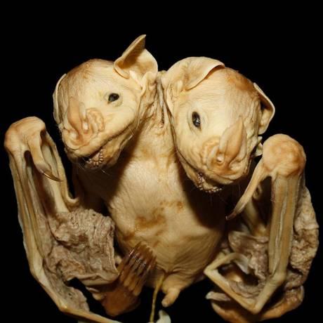 Os gêmeos siameses têm duas cabeças, mas apenas um corpo Foto: Marcelo Nogueira/Universidade Estadual do Norte Fluminense
