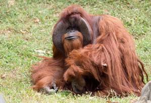 Chantek foi um dos primeiros macacos a aprender a se comunicar com língua de sinais Foto: HANDOUT / REUTERS
