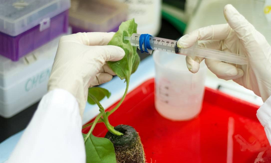 Uma planta de tabaco é infectada com o vírus da zika para produzir um alto rendimento de componentes da proteína da vacina em suas folhas Foto: Jason Drees/Universidade do Estado do Arizona