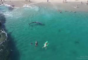 Baleia cinzenta se aproximou de banhistas em praia na Califórnia Foto: Mark Girardeau