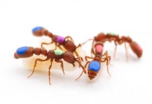 As formigas biroi usadas num dos experimentos, com marcas para identificação Foto: Daniel Kronauer