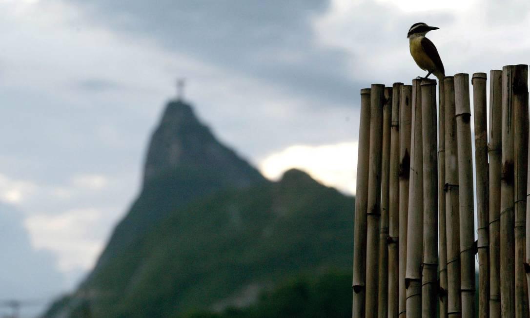 Pássaros Urbanos. Bem-te-vi Custódio Coimbra / Agência O Globo