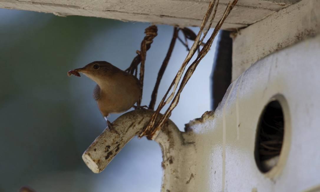 Pássaros Urbanos. Cambaxirra Custódio Coimbra / Agência O Globo