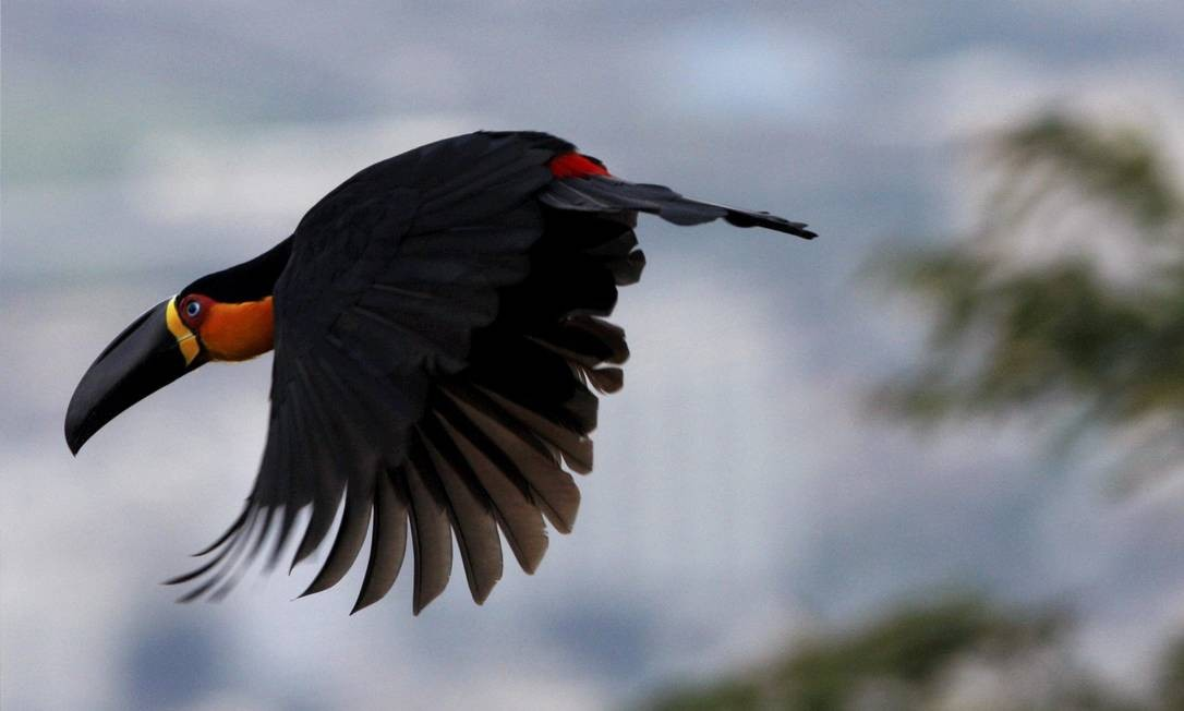 Pássaros Urbanos. Tucano-do-bico-preto Custódio Coimbra / Agência O Globo