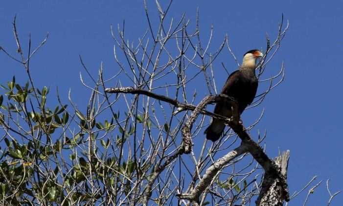 O Carcará é uma das aves mais comuns do Rio de Janeiro Foto: Custódio Coimbra / Agência O Globo