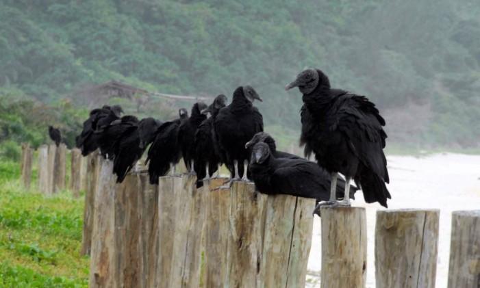 O urubu é uma das aves mais comuns no estado do Rio Foto: Salvador Scofano / Agência O Globo 20-12-2007