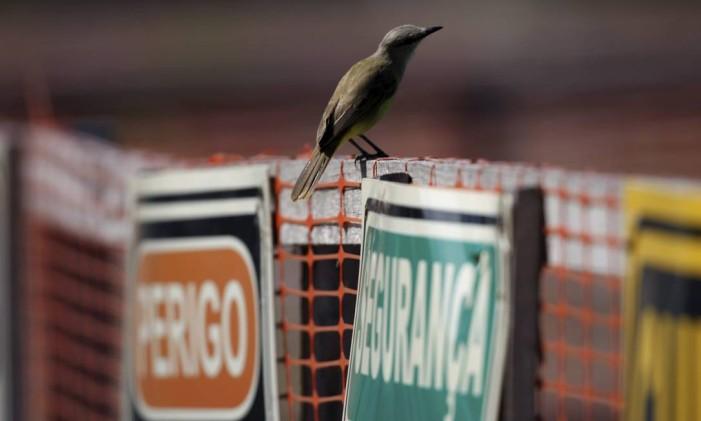 O suiriri é uma das espécies mais comuns no estado do Rio, quase tão numerosa quanto o bem-te-vi Foto: Custódio Coimbra / Agência O Globo