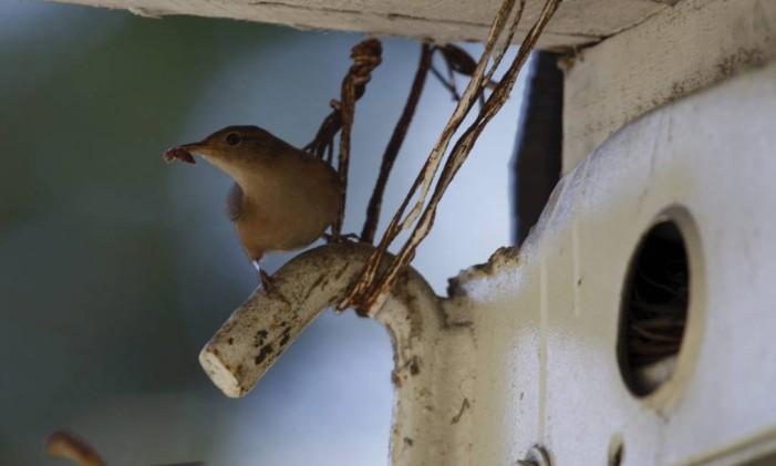 A cambarrixa é uma espécie de pássaro nativo das florestas que adapta bem à vida nas cidades Foto: Custódio Coimbra / Agência O Globo