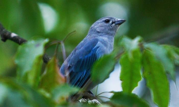 O sanhaço cinzento é um pássaro conhecido por disputar frutas com outras aves Foto: André Coelho / Agência O Globo.