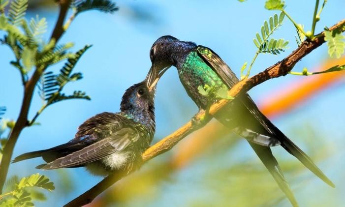 O beija-flor tesoura é outra espécie comum de pássaro no Rio Foto: Laizer Fishenfeld / Divulgação