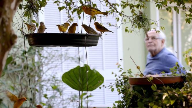 Visita animada. Aluizio Derizans e alguns dos pássaros que todas as manhãs vão comer frutas em sua casa. Na imagem, canários e gaturamos Foto: Custódio Coimbra / Agência O Globo