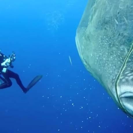 Mergulhador ao lado dos animais presos na rede de pesca Foto: REPRODUÇÃO