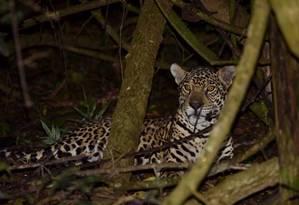 Onça vive no Parque Nacional do Iguaçu e pode ser monitorada por armadilhas fotográficas, pois se acostumou um pouco mais ao ser humano Foto: Divulgação