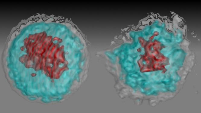 A imagem hológráfica mostra glóbulos brancos: à esquerda, um saudável; no meio, um infectado pela cepa africana do vírus da zika, que não causa tanto problema; e, à direita, um glóbulo branco infectado com o vírus asiático, que é o mais prejudicial Foto: Divulgação/Suan-Sin Foo, Weiqiang Chen e Jae Jung