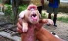 Porco 'com cara de macaco' vira celebridade em Cuba Foto: Reprodução/Twitter