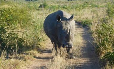 África do Sul tem 80% da população mundial de rinocerontes Foto: Ludmilla de Lima / .