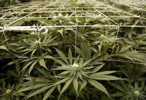 Plantação de maconha indoors Foto: Seth Wenig / AP