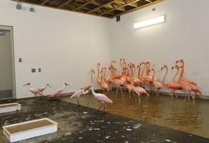 Flamingos e colhereiros foram colocados em quarto dentro de um edifício resistente a furacões Foto: Wilfredo Lee / AP
