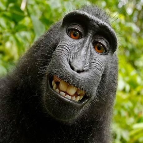 O macaco Naruto vai receber uma indenização após tirar uma selfie. Foto: Reprodução/Wikimedia Commons
