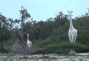 As duas girafas brancas observadas no Quênia Foto: Programa Hirola de Conservação