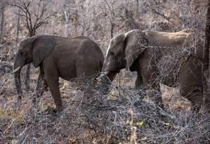 Dados de GPS mostram que elefantes passaram a se movimentar durante a noite para evitar caçadores Foto: GIANLUIGI GUERCIA / AFP