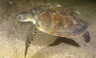 Tartaruga verde Foto: Divulgação