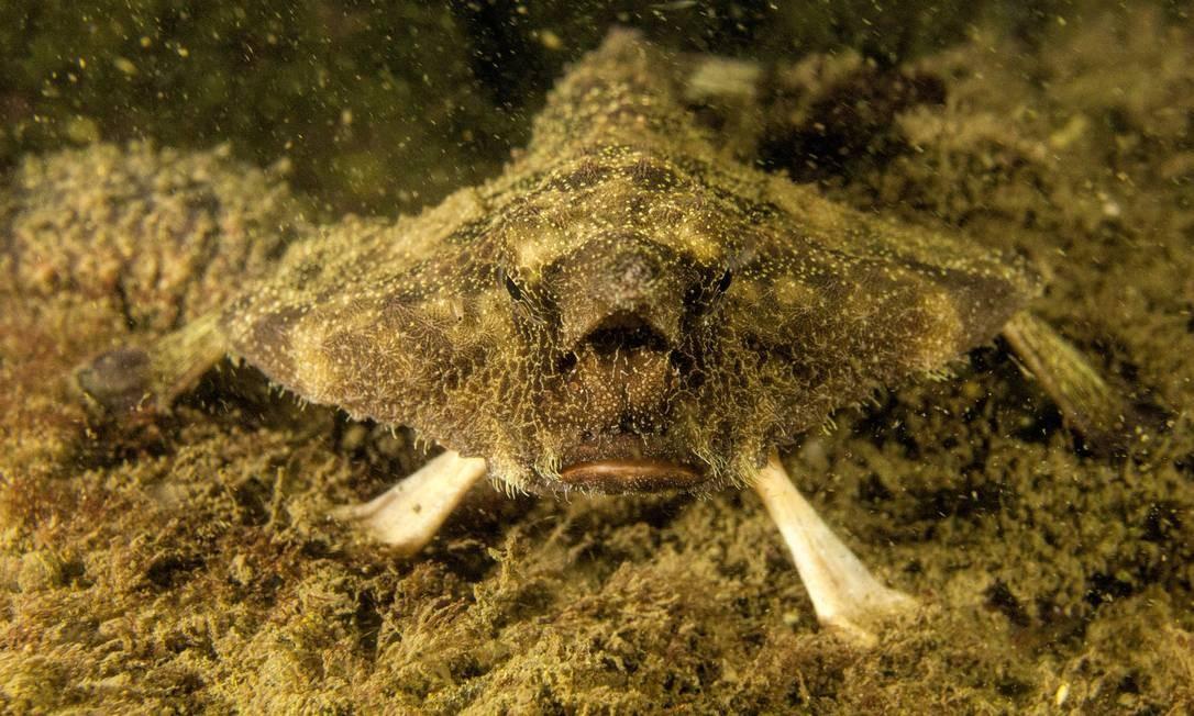 O peixe-morcego recebeu este nome por causa de sua estranha aparência: com bico e patas Foto: Ricardo Gomes / Divulgação