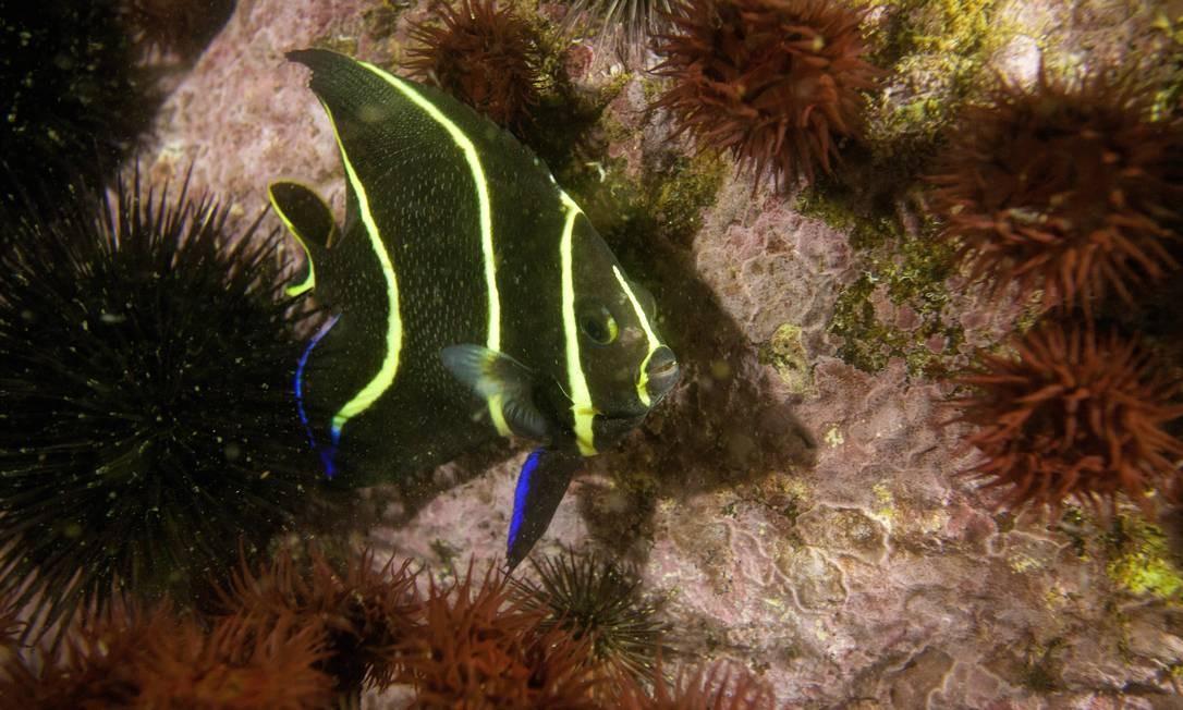 Paru é considerado um dos peixes mais belos do mar Foto: Ricardo Gomes / Ricardo Gomes
