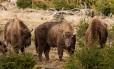 """Os bisões são classificados como """"vulneráveis"""" pela União Internacional para a Conservação da Natureza Foto: Jonathan Fieber / WWF"""