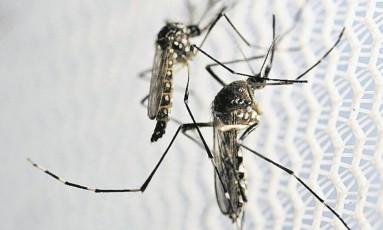 'Aedes aegypti': mosquito é transmissor do vírus da dengue e da zika Foto: PAULO WHITAKER/Reuters