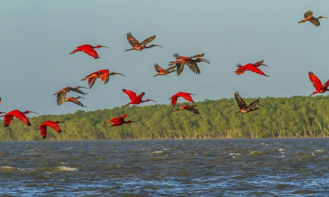 Revoada de guarás no Delta do Parnaíba, parte da Rota das Emoções, que terá mais opções de voos no verão de 2017 Foto: Divulgação / Ministério do Turismo